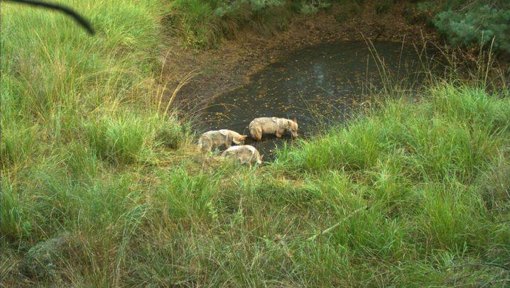 Raubtier: Die Wölfe sind zurück