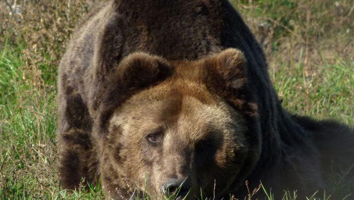 Bären in Karpaten: Raubtierangriffe häufen sich