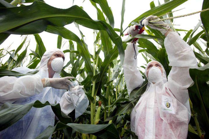 Greenpeace-Aktivisten nehmen Proben auf einem Versuchs-Maisfeld von Monsanto