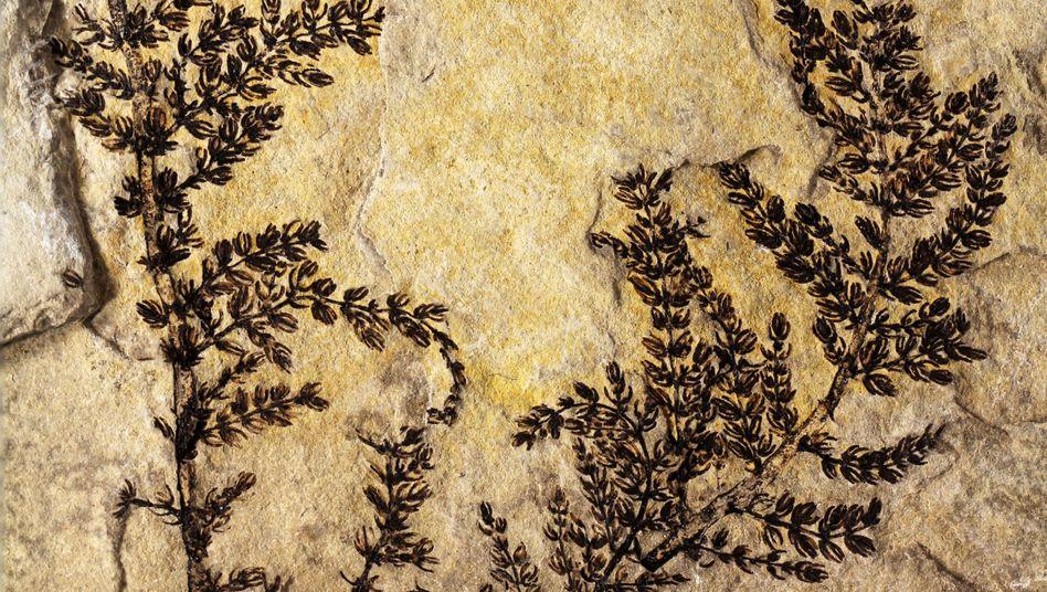 Versteinerte Ur-Pflanze: Das größte intakte Fossil von Montsechia