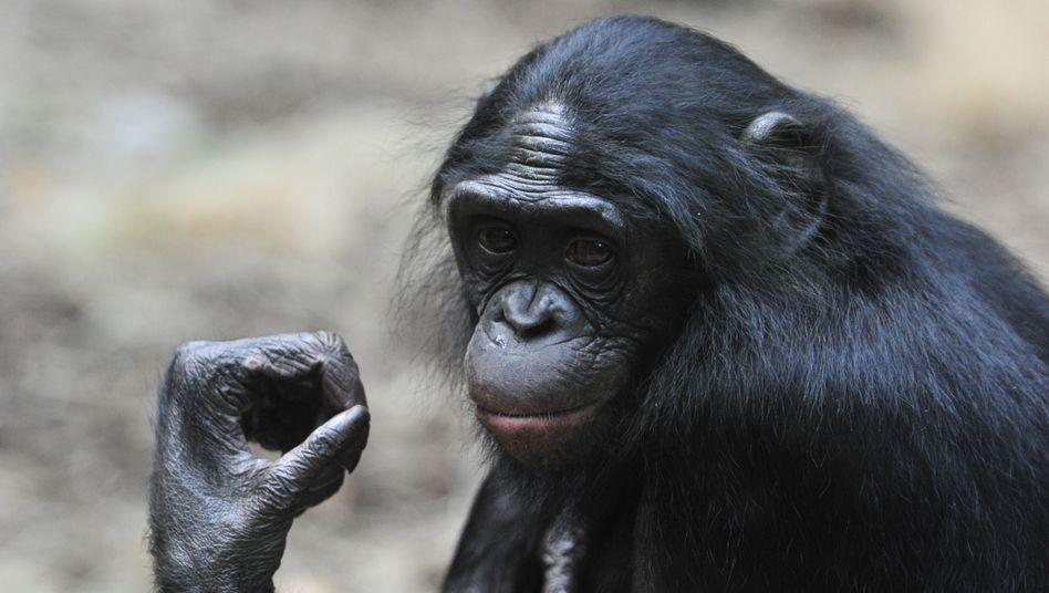 Bonobo-Weibchen Mixi im Zoo (Frankfurt am Main): Frauen-Power