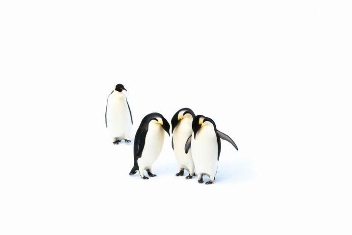 I pinguini imperatori vivono nelle fredde acque dell'Antartico