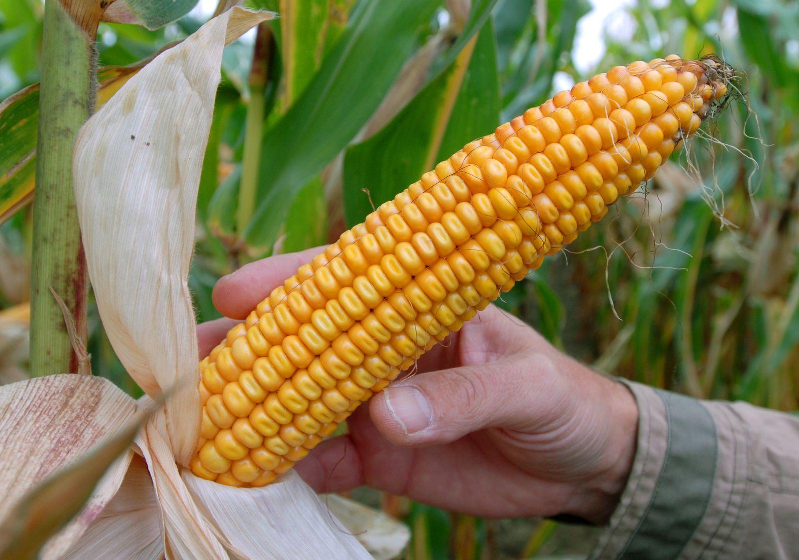 Genmais / Monsanto