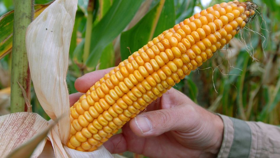 Genmais von Monsanto: Bis zu 40 Millionen Dollar Schaden?