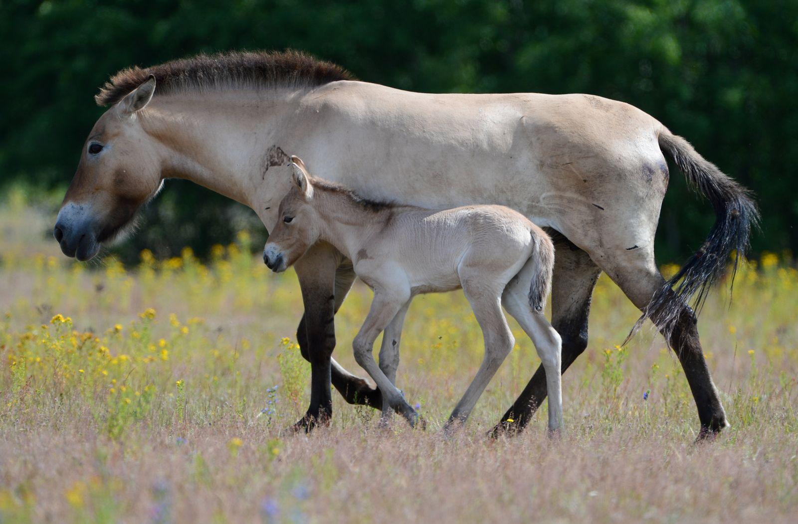 Nachwuchs bei Przewalski-Pferden