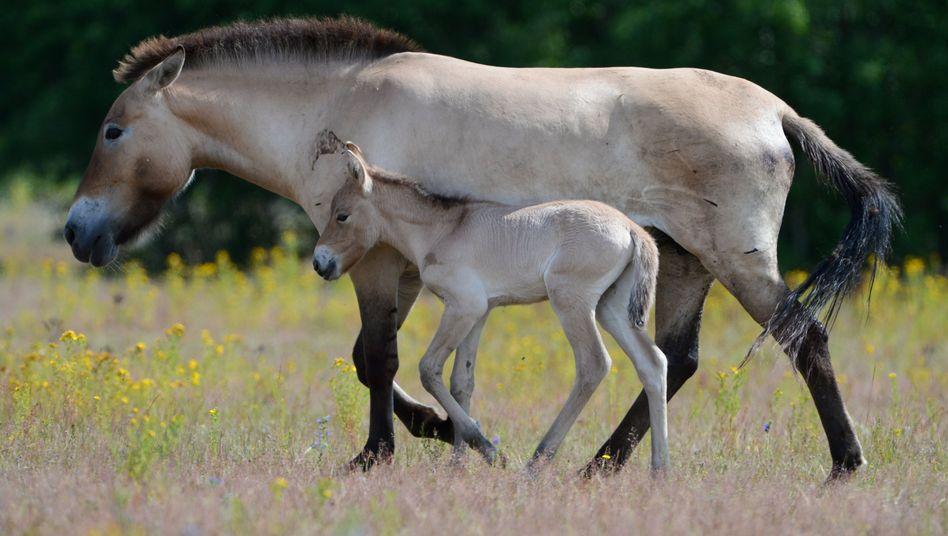 Przewalskifohlen folgt Muttertier: Die einzigen noch erhaltenen Wildpferde