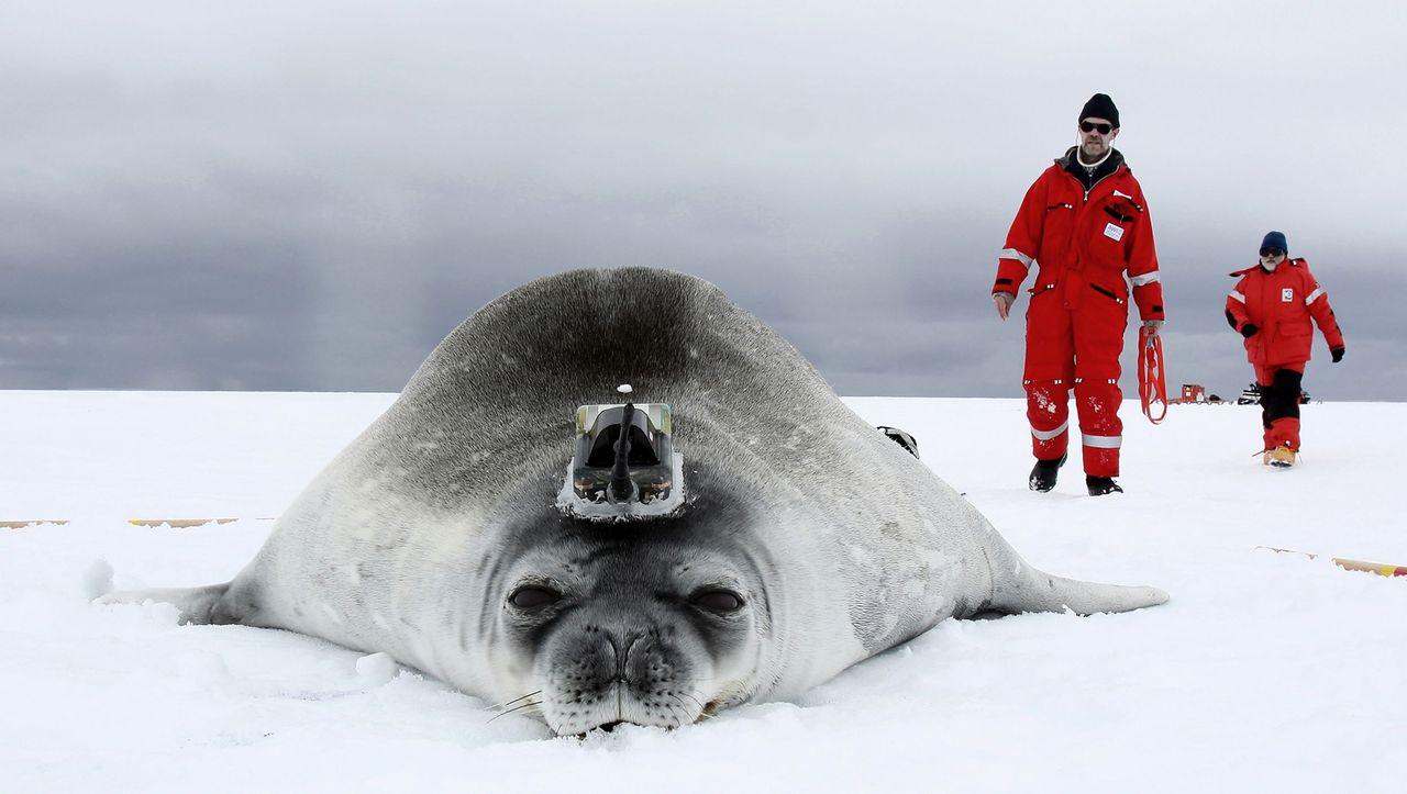 Robben Antarktis