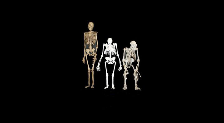 Größenvergleich von links nach rechts: Homo, Australopithecus, Pan (Schimpanse). Lucy und Co waren keine Menschen, aber auf dem Weg dorthin
