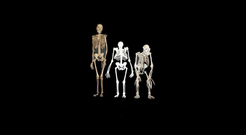 Skelette von Mensch und Schimpanse: Produkte eines langen Prozesses? (Archiv)