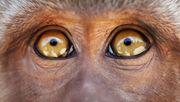 Forscher erschaffen Mischwesen aus Mensch und Affe