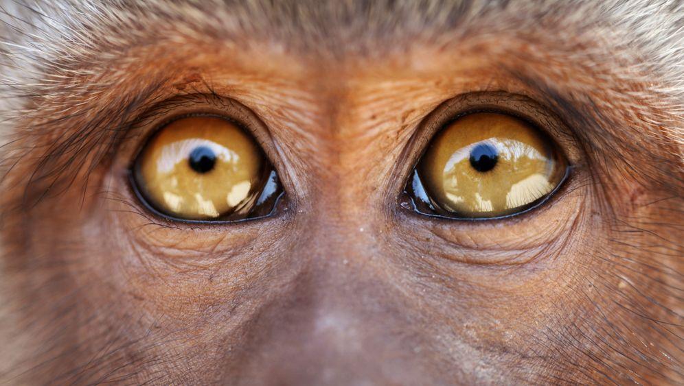 Im Auge des Affen: »Die Embryonen sind Mischwesen – teils Affe, teils Mensch«