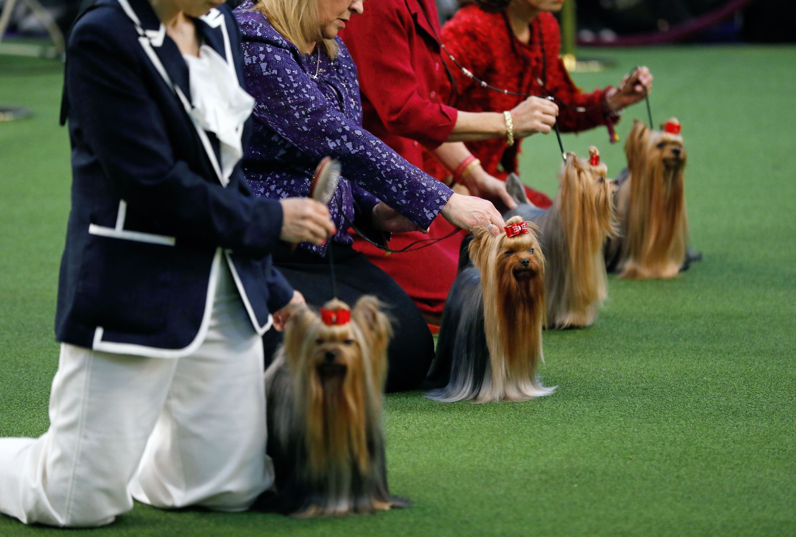 2020 Westminster Kennel Club Dog Show in New York, USA - 10 Feb 2020