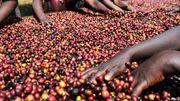 Klimawandel bedroht Anbau hochwertiger Kaffeesorten
