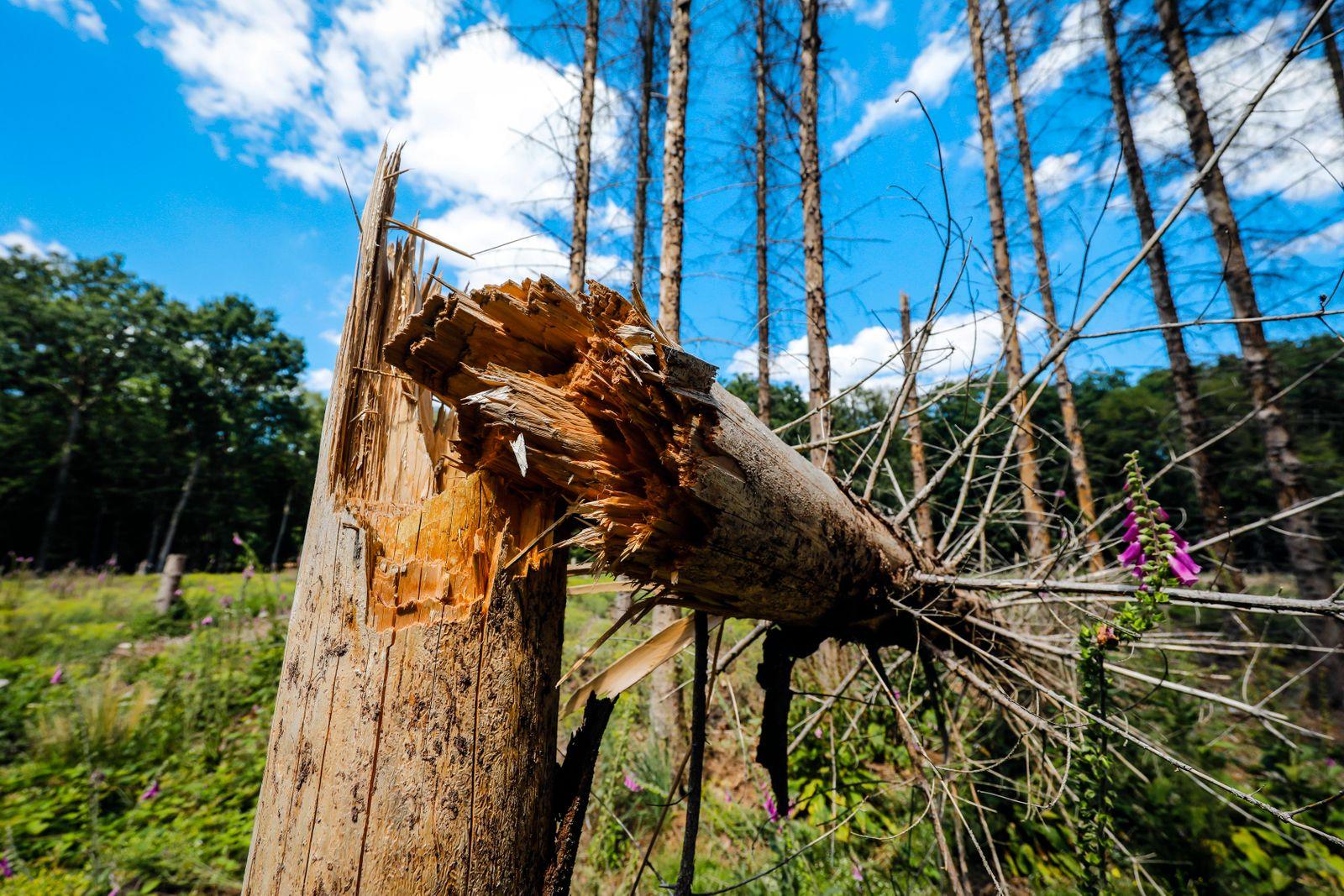 Bonn, Nordrhein-Westfalen, Deutschland - Waldsterben im Kottenforst, Trockenheit und Borkenk?fer sch?digen die Fichtenb