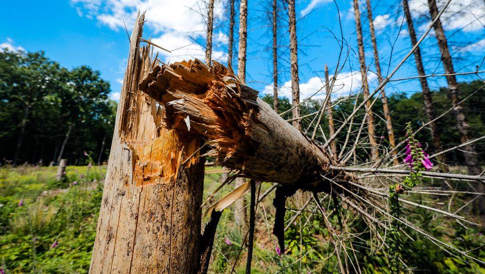 """Toter Baum im Kottenforst bei Bonn: """"Eine Situation, wie es sie seit mindestens 200 Jahren nicht gab"""""""