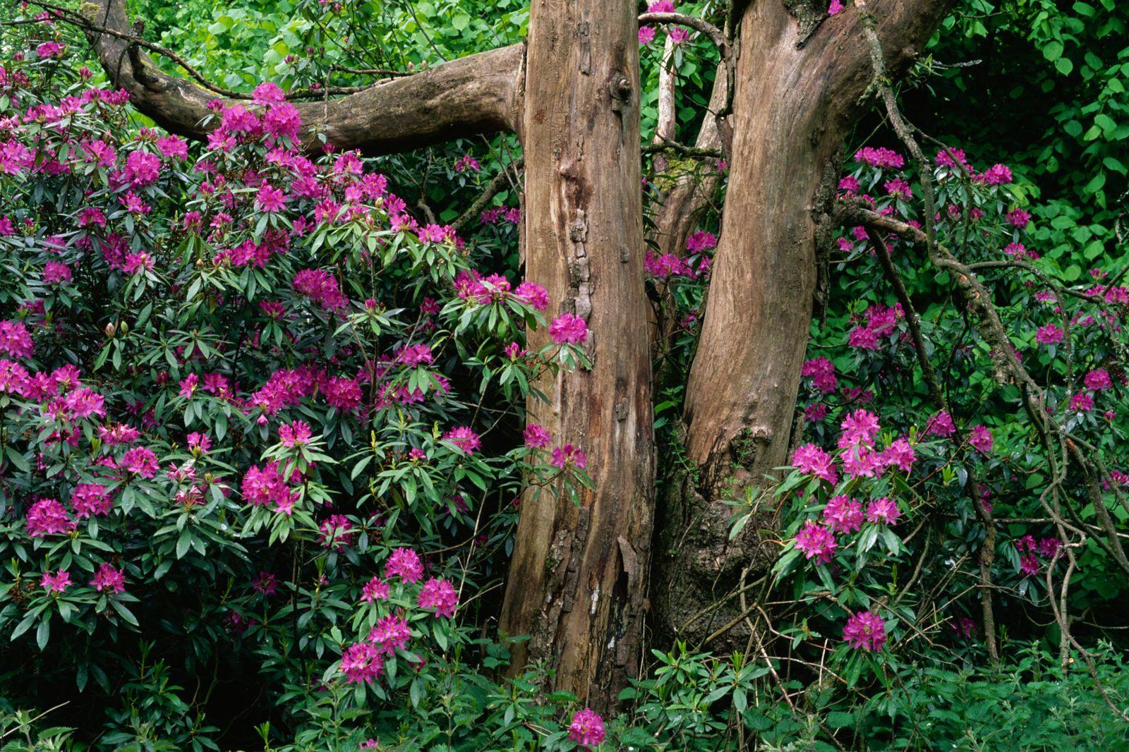 NICHT MEHR VERWENDEN! - Rhododendron Ponticum / Pontischer Honig