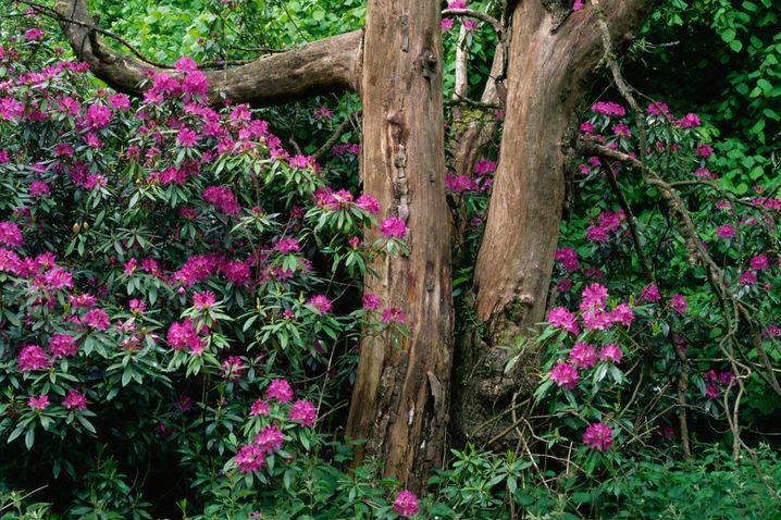 Rhododendron ponticum: Wie gefährlich sind die Pflanzen für den Menschen?