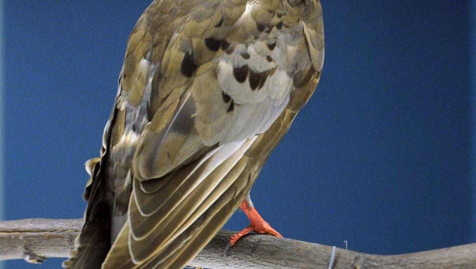 Martha im Museum: Die Überreste des Vogels wurden präpariert