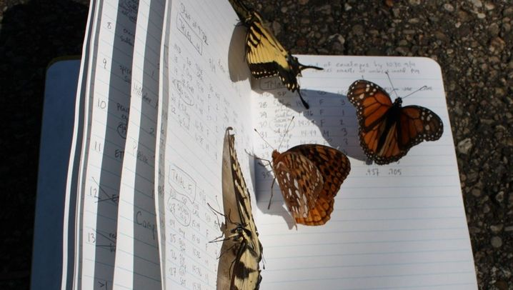 Schmetterlinge in Ohio: Prachtfalter