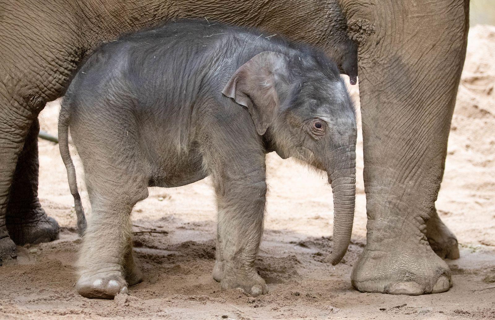 Elefantennachwuchs im Zoo Osnabrück