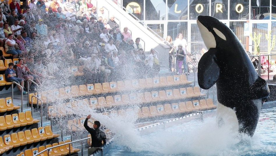 Orca im Loro Parque auf Teneriffa »Isolationshaft« oder »Luxusleben«?