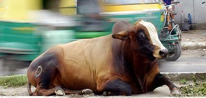 Kuh in Indien: Mittel gegen alle Krankheiten