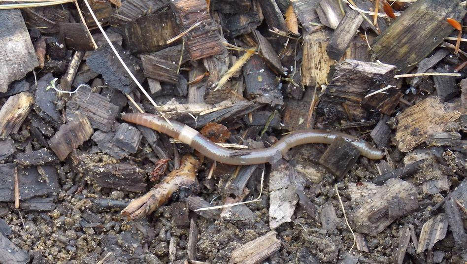 """Vor allem Angler haben die Ausbreitung der """"crazy worms"""" befeuert"""