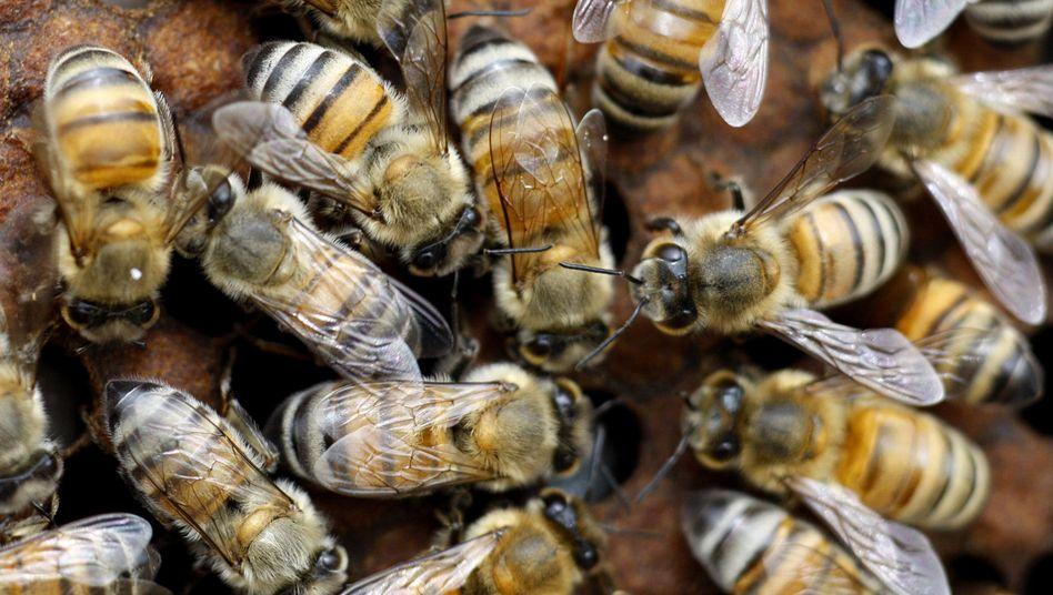 Bienen bei der Arbeit: Honig als Massenprodukt zu Billigpreisen