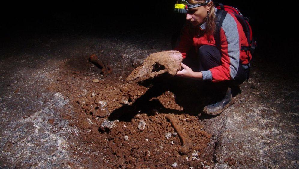 Höhlenbär: Eiszeit-Gigant mit Braunbär-DNA
