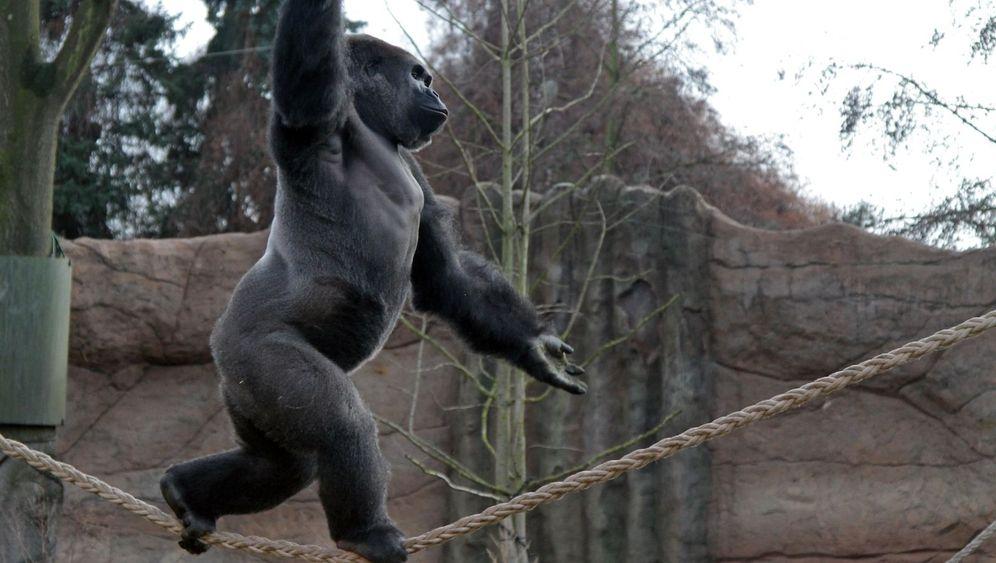 Photo Gallery: Kidogo the Acrobatic Ape