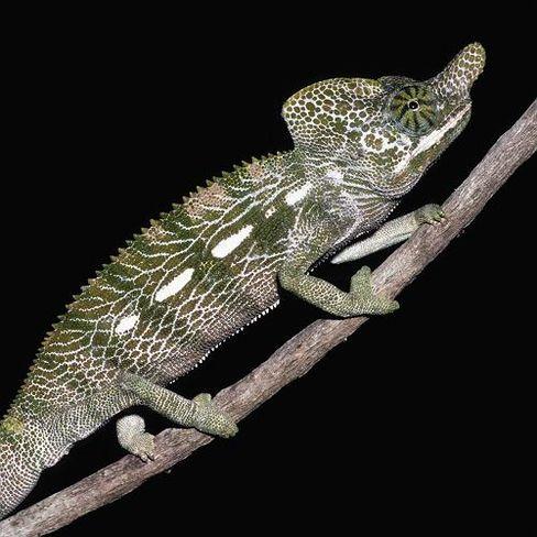 Chamäleon auf Madagaskar: Schlüpfen, sterben
