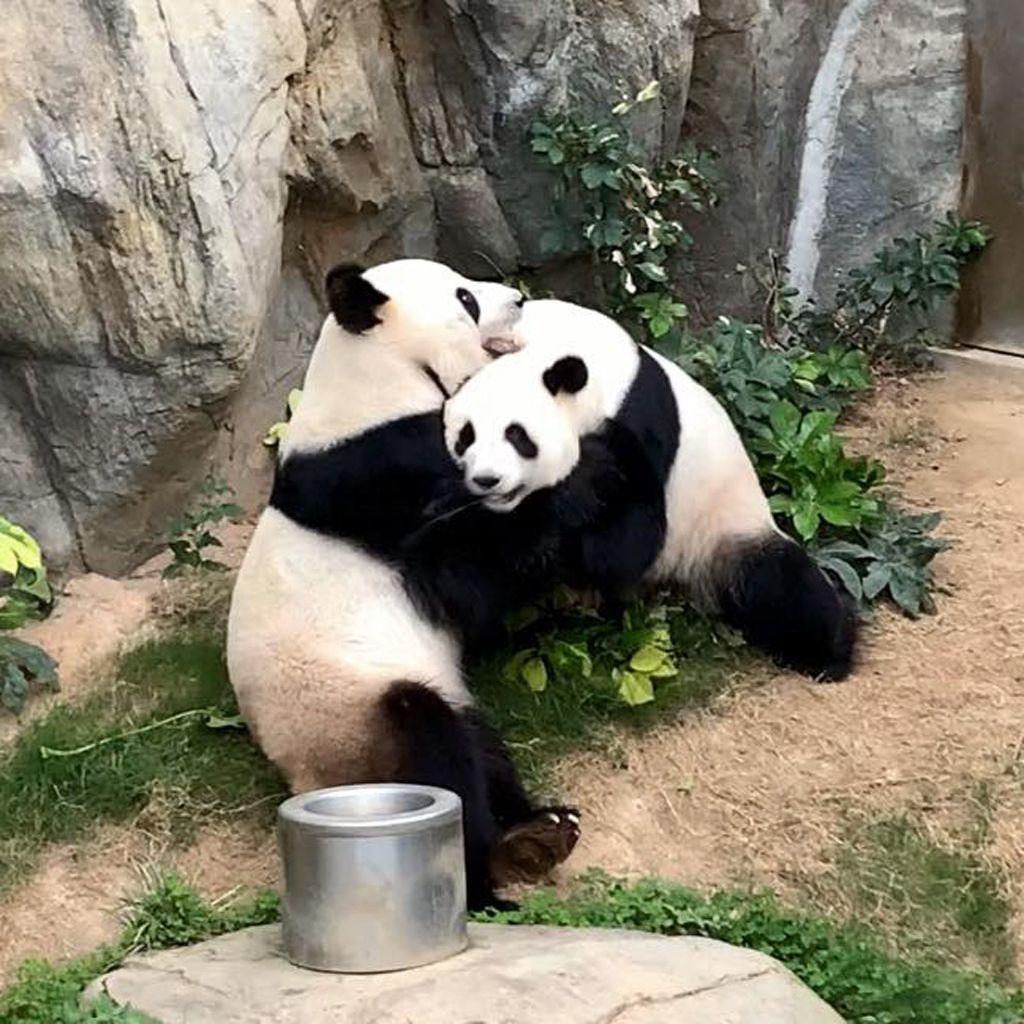 Giant pandas successfully mate in Hong Kong, China - 06 Apr 2020