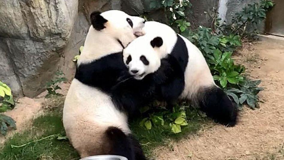 Der Ocean Park in Hongkong veröffentlichte dieses Foto des Pandapaares