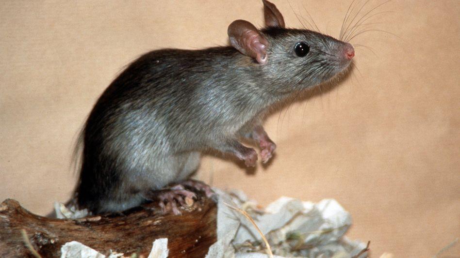 Ratte: Im Ökosystem können auch eingeschleppte Arten relevante Aufgaben übernehmen