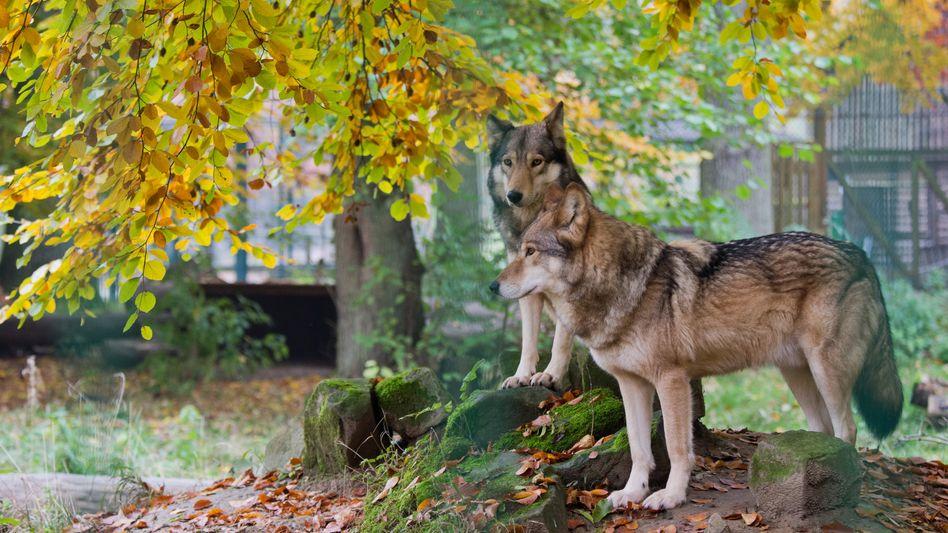 Wölfe in einem Gehege