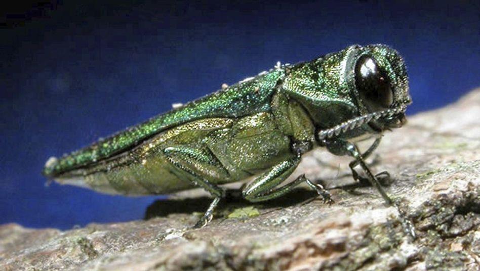 Prachtkäfer: Angezogen von metallisch-grünen Attrappen