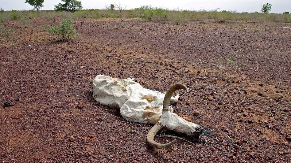 Aufgrund von Hitze verendetes Nutzvieh in Mali