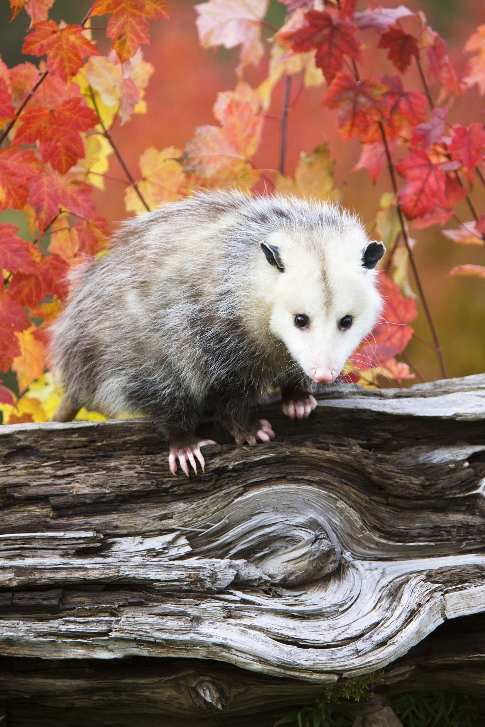 NICHT MEHR VERWENDEN! - Virginia Opossum / Tiere