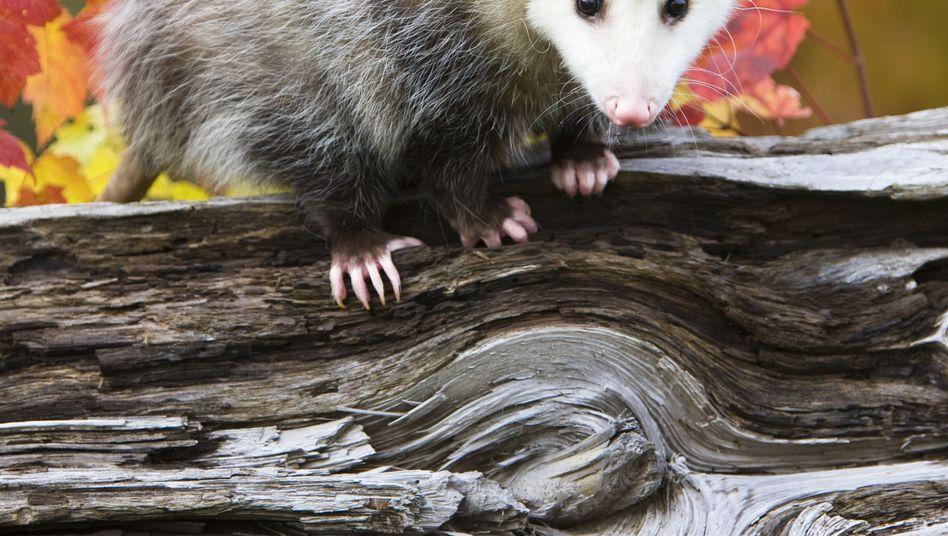 Opossum in Minnesota: Haariges Wesen