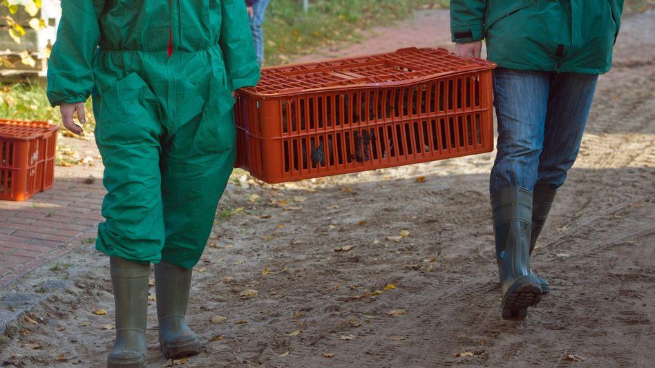 Vogelgrippe in Deutschland (Archiv): Nach dem Ausbruch Anfang November mussten etwa 1000 Tiere von Privathaltern getötet werden
