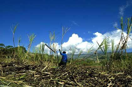 Zuckerrohrfeld (nahe San José, Costa Rica): Über die Hälfte der Landfläche sind nach Aufforstung mit Wald bedeckt