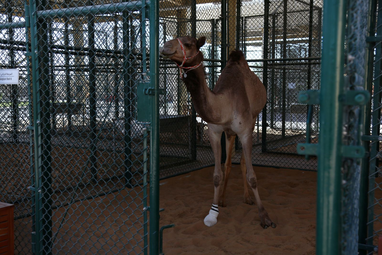 A camel stands in the surgical stall at the Dubai Camel Hospital in Dubai