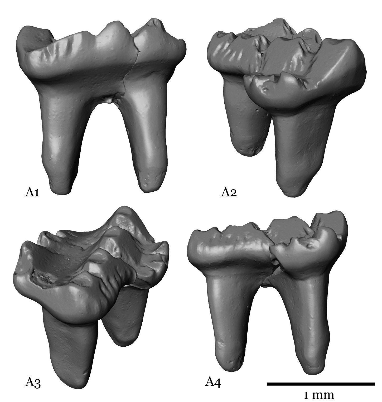 Fossile Zähne Multituberculata