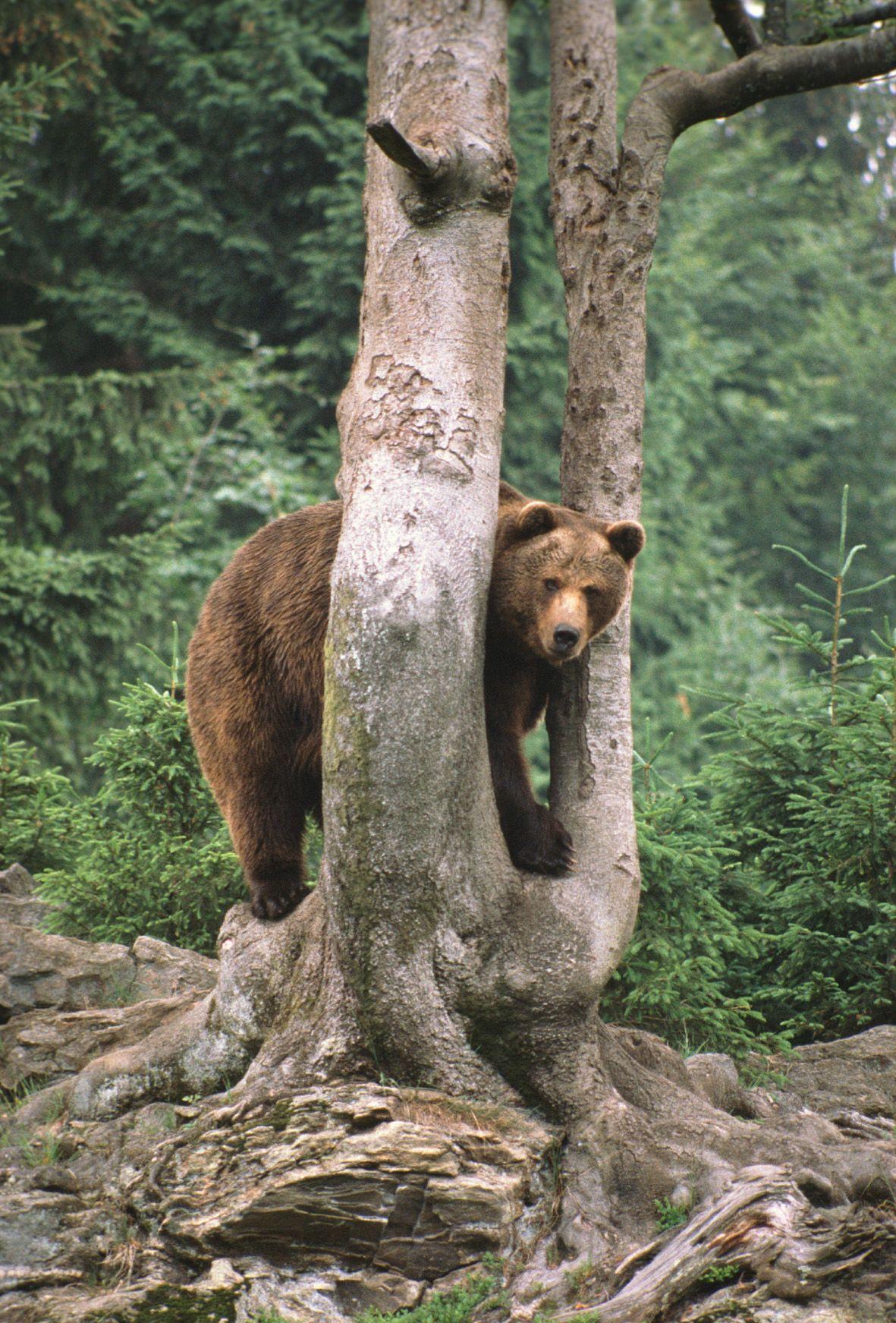 Austria Vanishing Bears