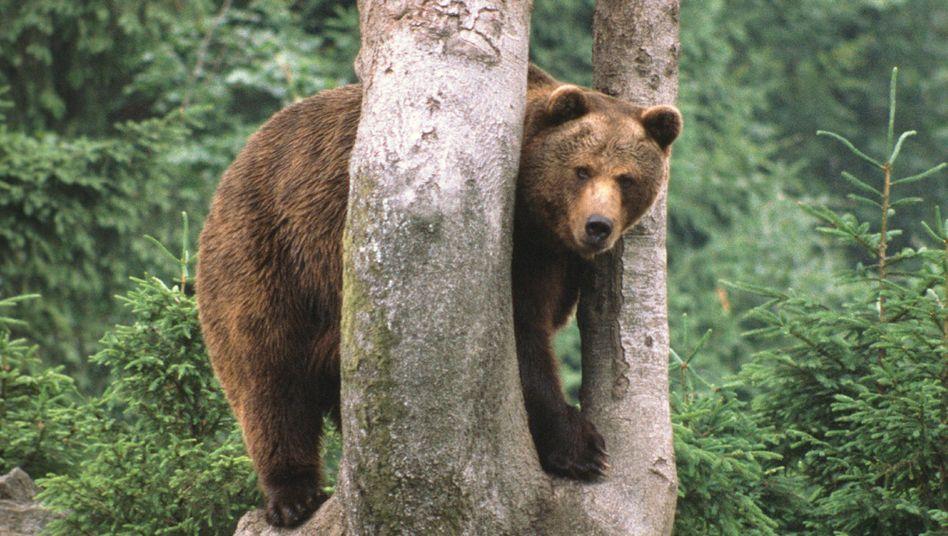 Bär (Symbolbild)