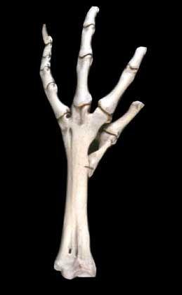 Dodo-Bein: Zum Spaß ausgerottet