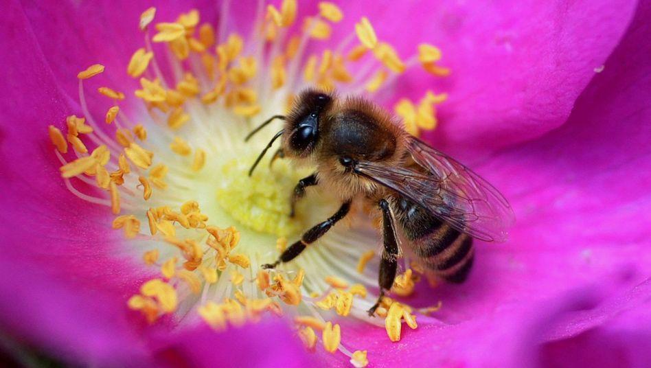 Honigbiene: Gestörte Eiweiß-Produktion macht sie anfällig für schädliche Faktoren
