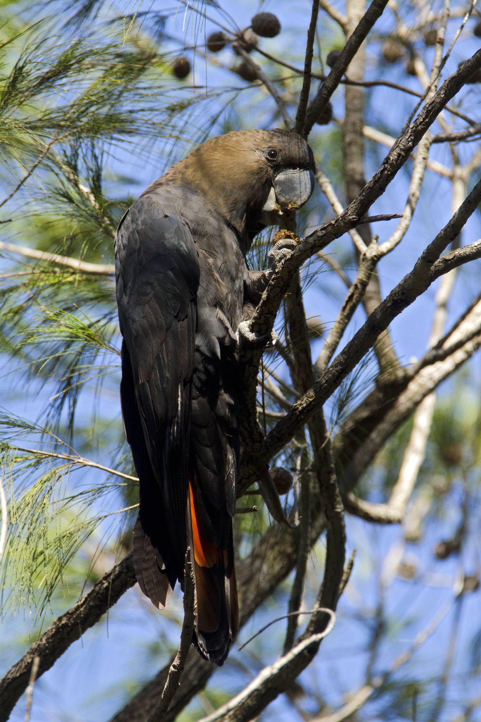 Braunkopfkakadu Calyptorhynchus lathami Männchen New South Wales Australien *** Brown headed Coc
