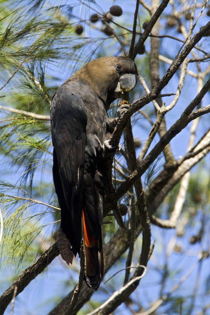 Braunkopfkakadu: Experten sorgen sich um den Bestand auf der Känguru-Insel im Süden Australiens