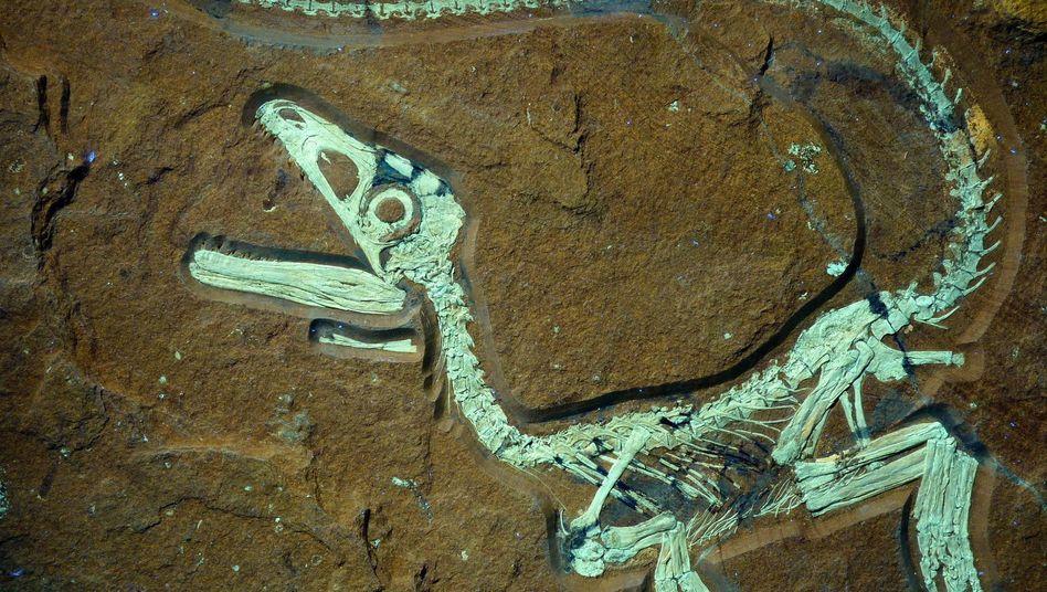 Namenloser Raubdinosaurier: 72 Zentimeter langes Jungtier
